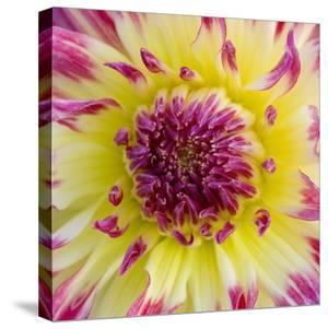 Yellow and red speckled dahlia by Clive Nichols