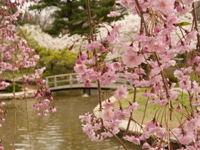 japanese garden with weeping higan cherry blossoms in foregrounddarlyne a murawski