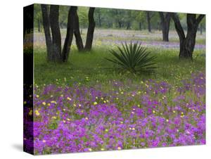 Agave in Field of Texas Blue Bonnets, Phlox and Oak Trees, Devine, Texas, USA by Darrell Gulin
