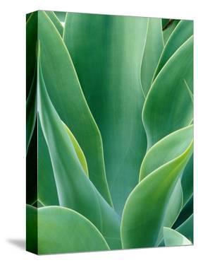 Agave Plant by Darrell Gulin