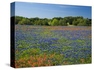 Blue Bonnets and Indian Paintbrush with Oak Trees in Distance, Near Independence, Texas, USA by Darrell Gulin