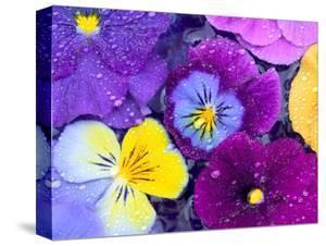 Pansy Flowers Floating in Bird Bath with Dew Drops, Sammamish, Washington, USA by Darrell Gulin