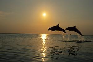 Pair Of Bottle Nose Dolphins Jumping At Sunset Roatan Honduras Summer BacklitDesign Pics Inc