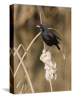 Red Winged Blackbird by Diane Miller