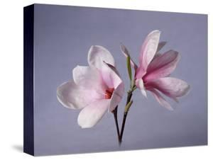 Two Japanese Magnolias, Magnolia Liliiflora by Diane Miller