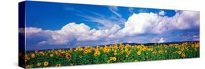 Fields of Sunflowers Rudesheim Vicinity Germany