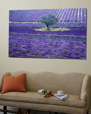 Lavender Fields, Vence, Provence, France by Gavriel Jecan