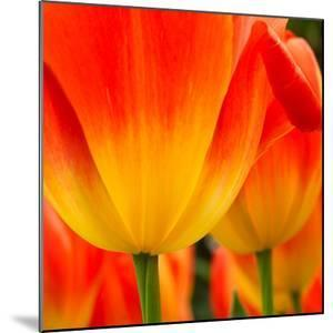 Tulip's Petals by George Lepp