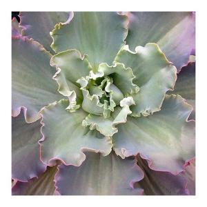 Soft Petals by Jan Bell