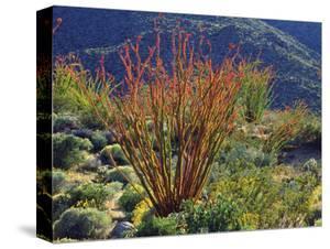 USA, California, Anza-Borrego Desert State Park. Ocotillo Wildflowers by Jaynes Gallery
