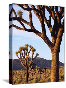 USA, California, Joshua Tree National Park. Joshua Trees by Jaynes Gallery