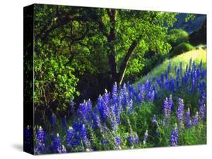 USA, California, Sierra Nevada. Lupine Wildflowers in the Forest by Jaynes Gallery