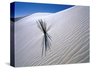 Plant Growing in Sand Dune by Jim Zuckerman