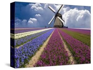 Windmill and Flower Field in Holland by Jim Zuckerman