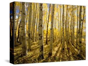 Aspen Trees in Autumn by John Eastcott & Yva Momatiuk