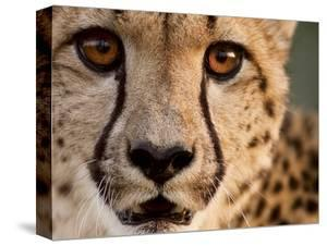 Close Up Portrait of a Cheetah. by Karine Aigner