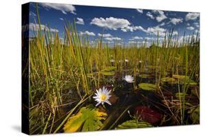 Kafue NP, Zambia. Blue Egyptian Water Lilies Or Sacred Blue Lilies Nymphaea Caerulea by Karine Aigner