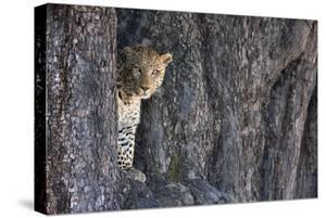 Male Leopard Intensely Staring From The Wedge In A Tree. Linyanti Wildlife Reserve, Botswana by Karine Aigner