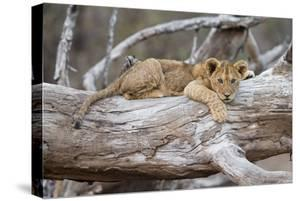Portrait Of A Lion Cub Resting On A Log Looking At The Camera Contemplating by Karine Aigner