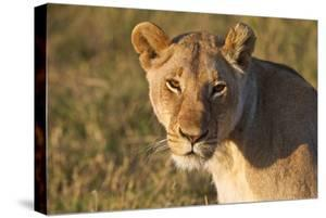 Portrait Of A Young Wild Lioness In Morning Light In The Masai Mara, Kenya by Karine Aigner