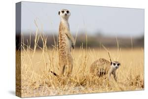 Two Meerkats Alert and on Evening Lookout in the Dry Grass of the Kalahari, Botswana by Karine Aigner