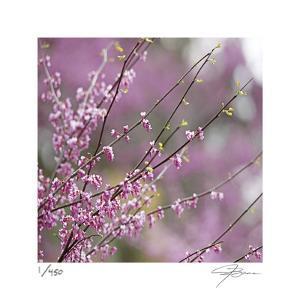 Pink Blooms by Ken Bremer