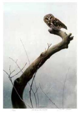 Wet Spring - Saw Whet Owl by Michael Dumas