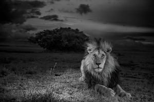 Black & White Lions