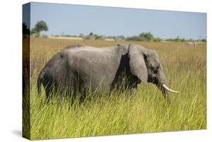 African Bush Elephant by Michele Westmorland