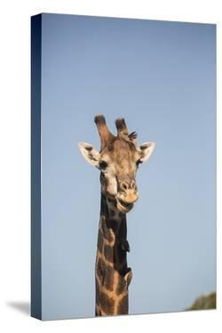 African Giraffe by Michele Westmorland