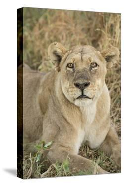 African Lioness by Michele Westmorland