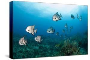 Atlantic Spadefish by Michele Westmorland
