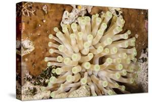 Giant Caribbean Sea Anemone by Michele Westmorland