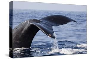 Humpback Whale Tail by Michele Westmorland