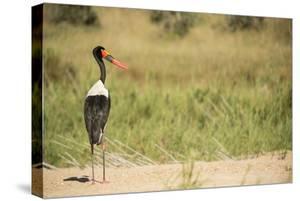 Saddle Billed Stork by Michele Westmorland