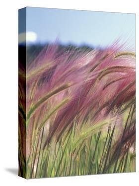 Wild Barley by Michele Westmorland