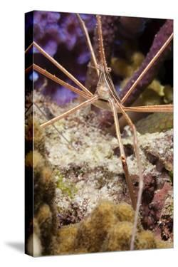 Yellowline Arrow Crab by Michele Westmorland