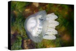 Rhizostoma Jellyfish in Black Sea by Mike_Kiev