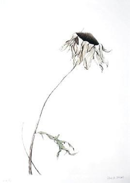 Dry Daisy by Paul Jansen