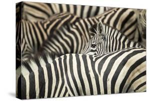 Plains Zebra, Chobe National Park, Botswana by Paul Souders