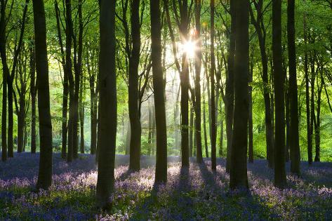 Early Morning Sunlight in West Woods Bluebell Woodland, Lockeridge, Wiltshire, England. Spring Fotografisk trykk