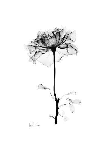 Rose Gray Premium Giclee-trykk