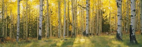 Aspen Trees in Coconino National Forest, Arizona, USA Fotografisk trykk
