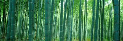 Bamboo Forest, Sagano, Kyoto, Japan Premium fotografisk trykk