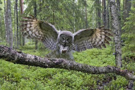 Great Grey Owl (Strix Nebulosa) Landing on Branch, Oulu, Finland, June 2008 Fotografisk trykk