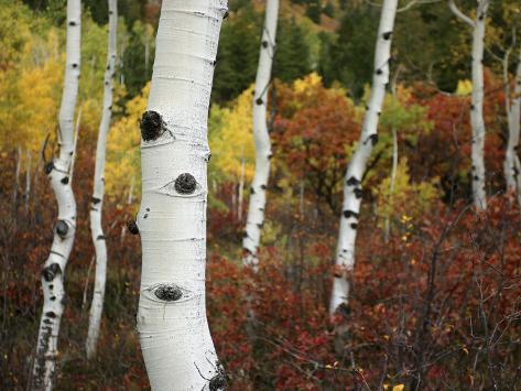 The White Bark of Autumn Colored Aspen Trees Fotografisk tryk