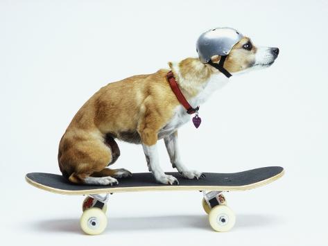 Dog with Helmet Skateboarding Premium fotografisk trykk