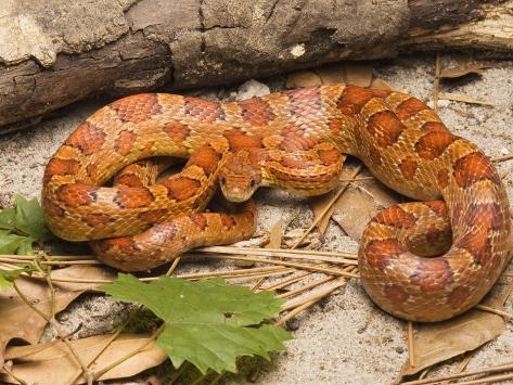 Corn Snake, Sarasota County, USA Fotografisk trykk