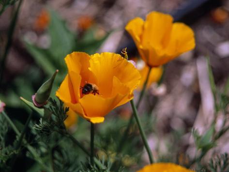 Bee Drinking from a California Poppy Fotografisk tryk