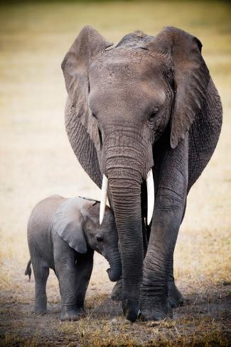 Elephant and Baby Plakat